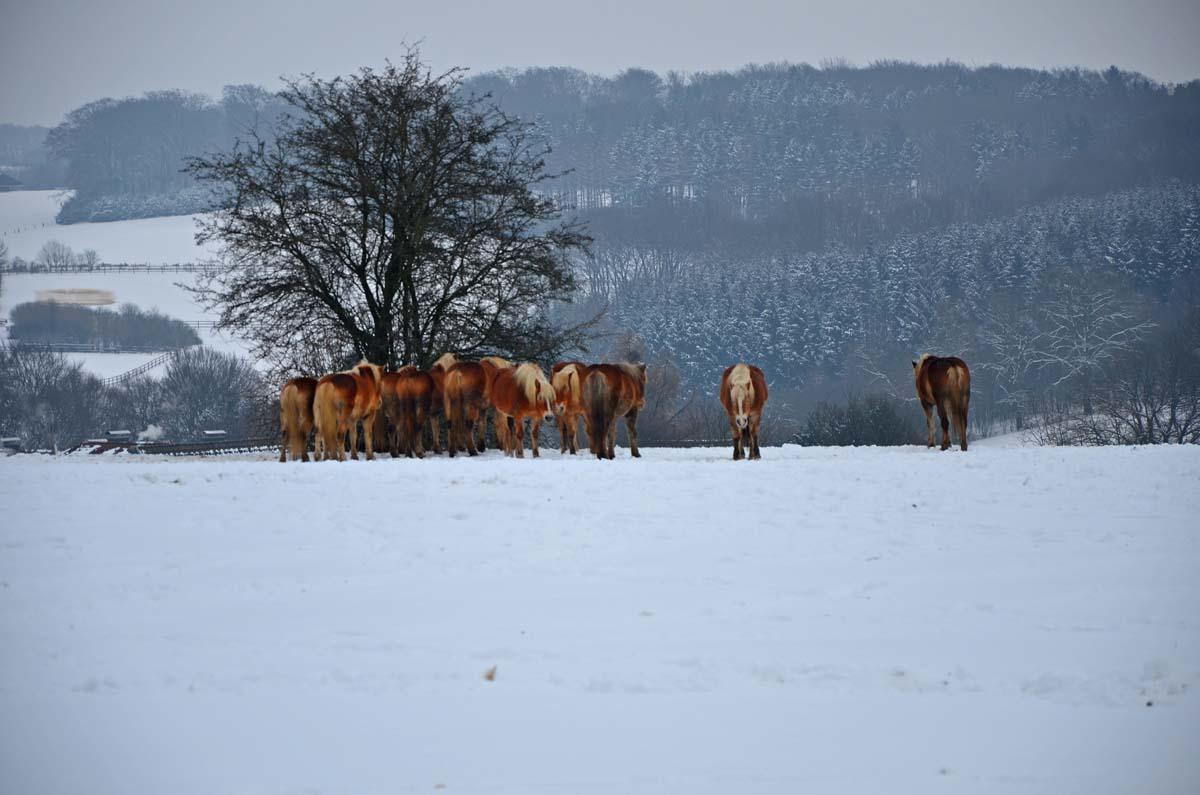 Pferdeherde im Schnee