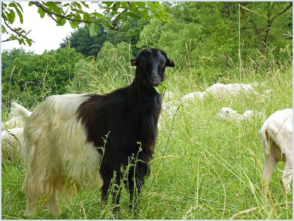 Da haben wir es, kann sich nicht entscheiden ob Schaf oder Ziege, ob schwarz oder weiß. So stelle ich mich in eine Schafherde (wird doch keiner merken)