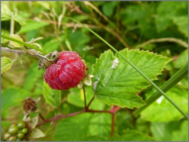 Die ersten Hombeeren, fruchtig und süß