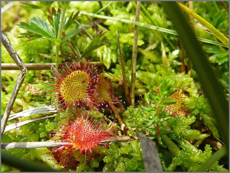 SonnentauAn den Tentakeln glitzern klebrige Tröpfchen, die Verdauungsenzyme enthalten. Wenn ein Insekt kleben bleibt, biegen sich die Tentakel über das Tier und die Enzyme verdauen die Beute.