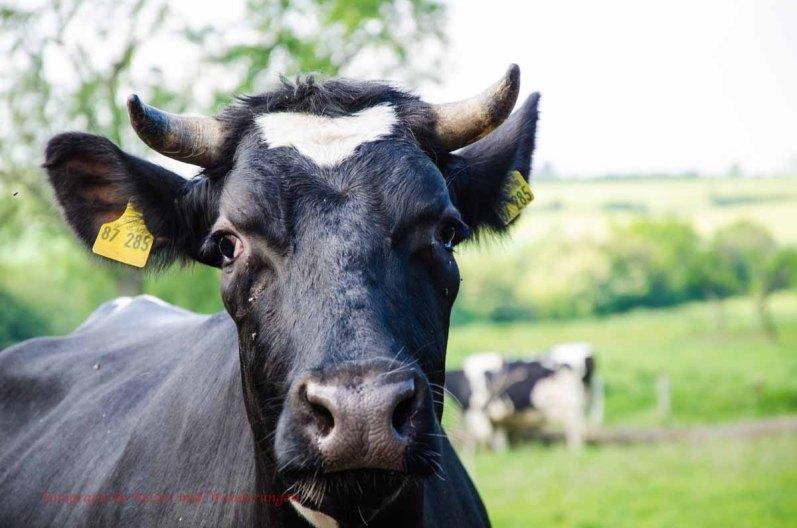 Wachsame Kuh