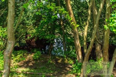 Unter den Bäumen genießen die Rinder ihre Siesta